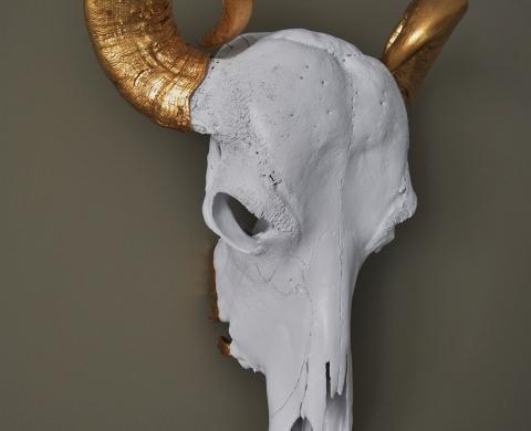 Cranium Bubalus